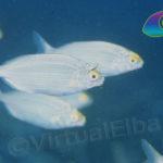Salpa o Sarpa - famiglia Sparidae
